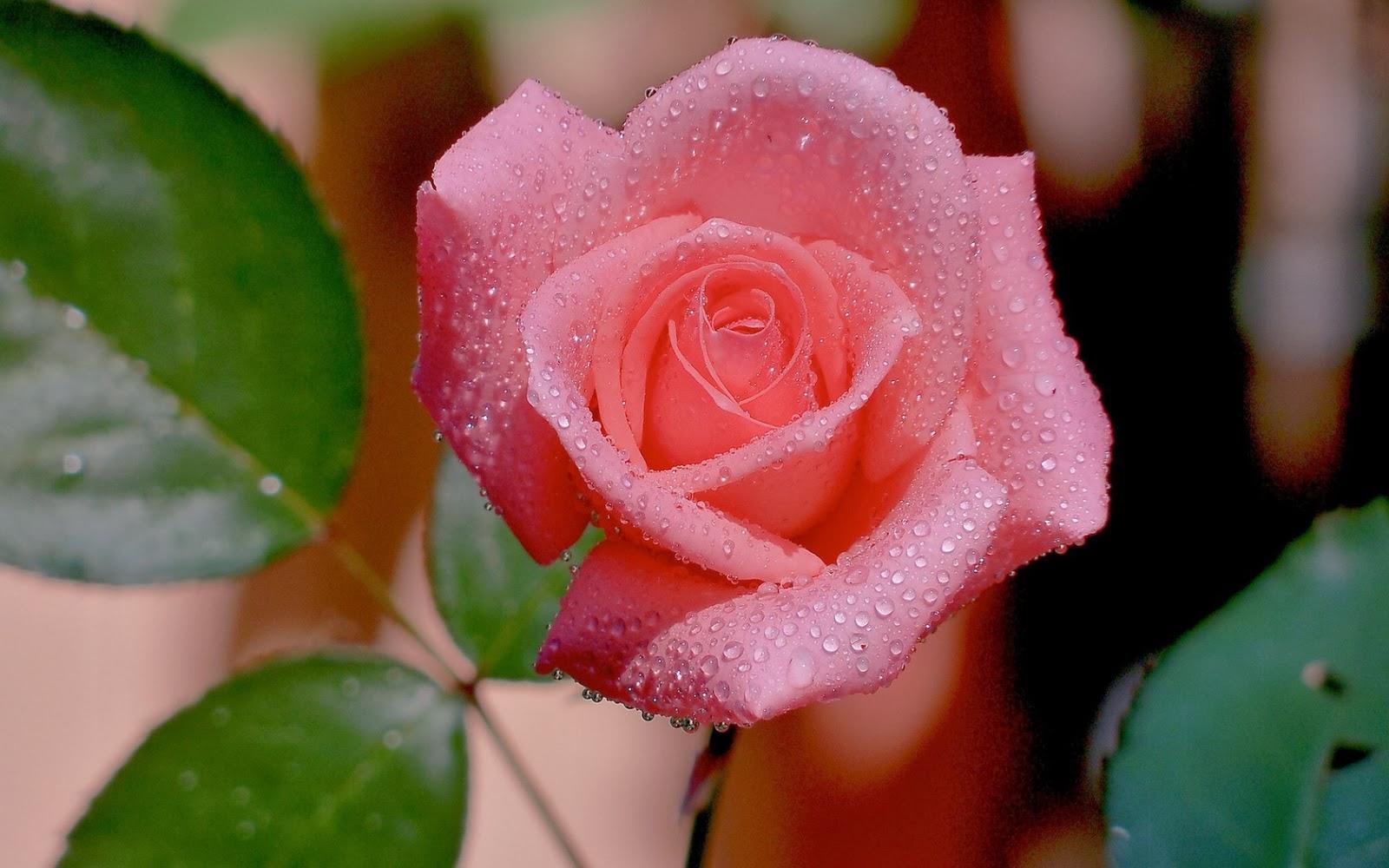 rosa-con-rocio-de-agua